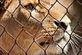 Lion behind bars Feb09.jpg
