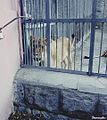 Lion in Yerevan zoo.jpg