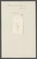 Liriope cerasiformis - - Print - Iconographia Zoologica - Special Collections University of Amsterdam - UBAINV0274 111 01 0005.tif