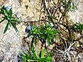 Lithodora rosmarinifolia1613.JPG