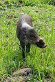 Little Bearded Pig (27608713956).jpg