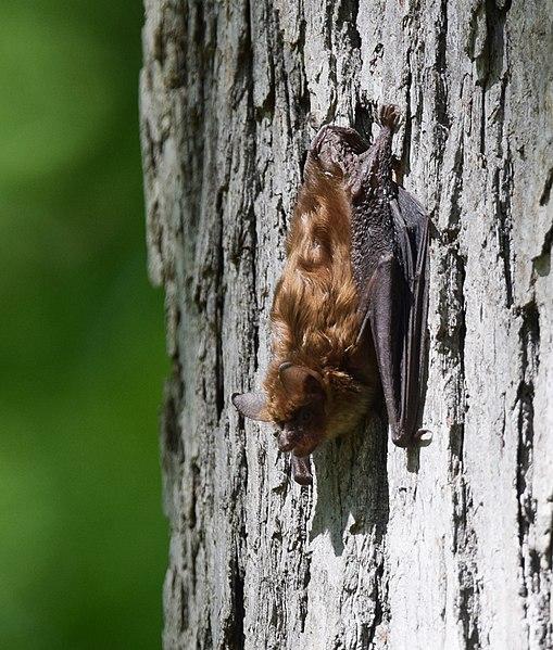File:Little Brown Bat? (flying during the day - flushed?) (34454069911).jpg