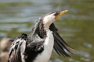 Little Pied Cormorant, Phalacrocorax melanoleucos