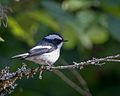 Little Pied Flycatcher.jpg
