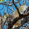 Little corella at Boulia Wildlife Haven Herbert St Boulia Queensland P1030432.jpg