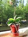 Little orchid D1209.jpg
