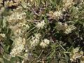 Littleleaf creambush, Holodiscus microphyllus (43073132442).jpg