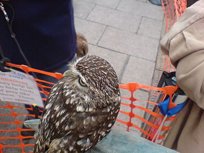 A en:little owl with it's head facing the back