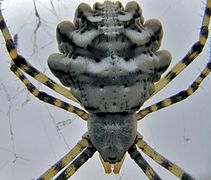 Lobed Argiope (Argiope lobata) close-up (8350019398).jpg