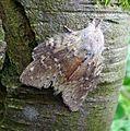 Lobster Moth. Stauropus fagi. (14836342802).jpg