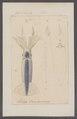 Loligo oualaniensis - - Print - Iconographia Zoologica - Special Collections University of Amsterdam - UBAINV0274 090 05 0019.tif