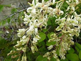 <i>Lomatia tinctoria</i>