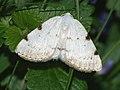 Lomographa bimaculata - White-pinion Spotted (40885328652).jpg