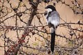 Long-tailed Fiscal (27680924674).jpg