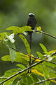 Long-tailed Tyrant - Sarapiqui - Costa Rica S4E1052 (26697352285).jpg
