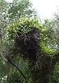Lonicera japonica kz3.jpg