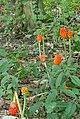Lords and Ladies (Arum maculatum) - geograph.org.uk - 1435560.jpg