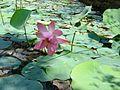 Lotus flower in a pond.jpg