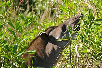 South American tapir - A South American tapir browsing leaves at Pouso Alegre, Transpantaneira, Poconé, Mato Grosso, Brazil.