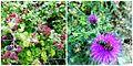 Lule karakteristike te stines se pranveres ne Kukes.jpg