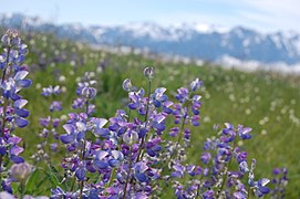 Lupin on Hurricane Ridge, August 2012.JPG