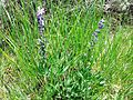 Lupine - Flickr - brewbooks.jpg