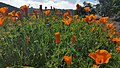 Lusk & Vista Sorrento Parkway Golden Poppies 2.jpg