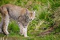 Lynx (16401547884).jpg
