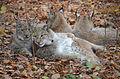 Lynxes.JPG