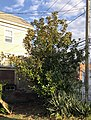 M-grandiflora bank-st montauk-ave new-london-CT 11282020.jpg