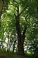 Małków,park,gmina Warta,dąb szypułkowy,obwód 500 cm.jpg