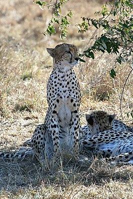 Гепард, Acinonyx jubatus