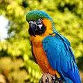Macaw (60971874).jpeg