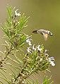 Macroglossum Stellatarum - Esfínge colibrí - Hummingbird Hawk-moth (4551999955).jpg