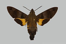 Macroglossum arimasi JH244 male up edi.jpg