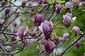 Magnolia x soulangiana 'Rustica Rubra' hybridus.JPG
