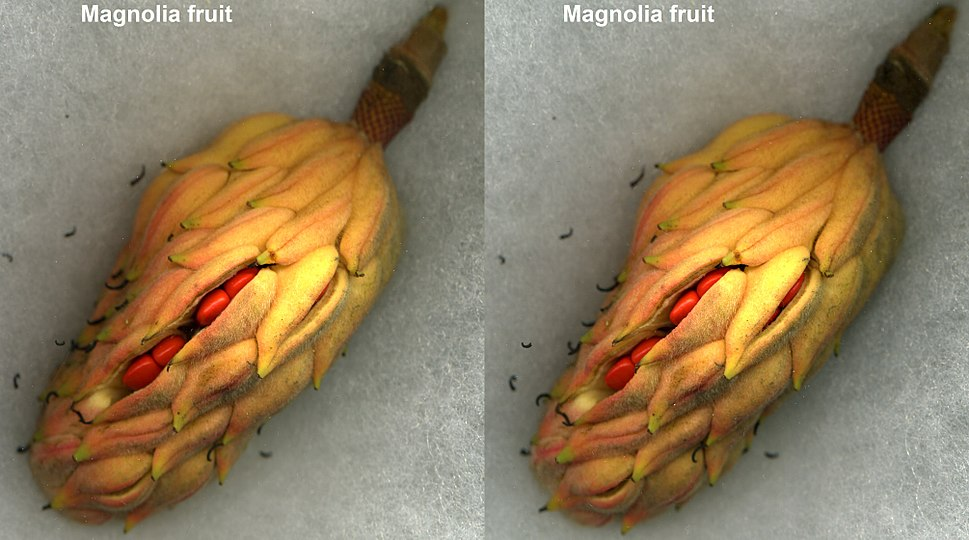 Magnoliafruitopen