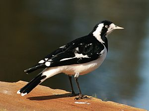 English: A female Magpie-lark (Grallina cyanol...