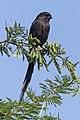Magpie shrike (Urolestes melanoleucus melanoleucus) immature.jpg