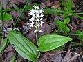 Maianthemum canadense 4 (5097333357).jpg