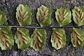 Maidenhair Spleenwort - Asplenium trichomanes (40523421534).jpg
