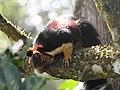 Malabar Giant Squirrel DSCN0178.jpg
