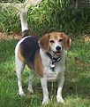 Malamute beagle Chip.jpg