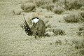 Male Greater Sage-Grouse (7094221365).jpg