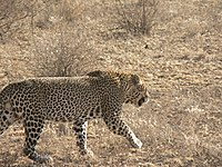 Male leopard samburu.jpg