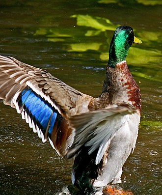 Mallard - Iridescent speculum feathers of the male