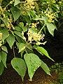 Mallotus japonicus male flowers.JPG