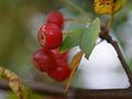 Malus sieboldii, fruit 15.jpg