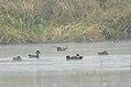 Mandarin Duck Aix galericulata by Dr. Raju Kasambe DSC 9110 (10).jpg