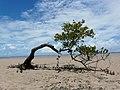 Mangle solitario. Bahia, Brasil.jpg